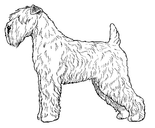 UKC Breed Standards: Soft Coated Wheaten Terrier (European Trim)