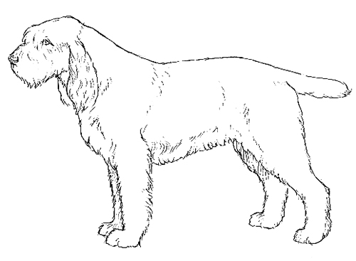 UKC Breed Standards: Spinone Italiano