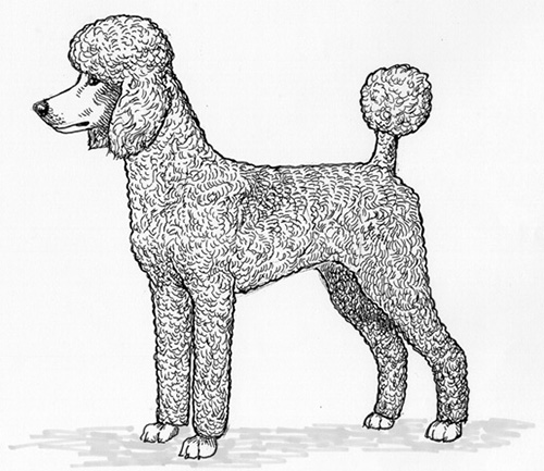 Breed Standards : Standard Poodle | United Kennel Club (UKC)