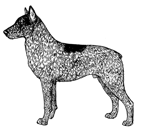 UKC Breed Standards: Stumpy Tail Cattle Dog