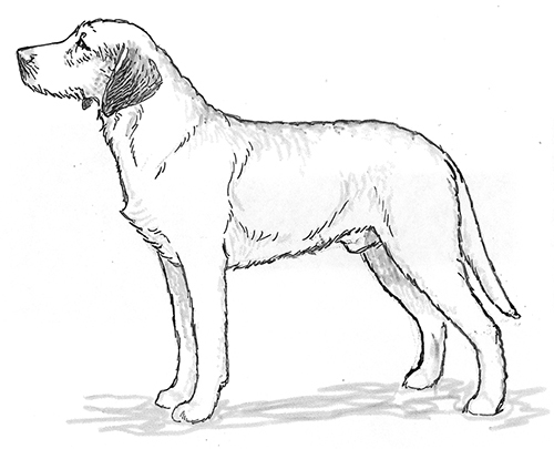 UKC Breed Standards: Styrian Coarse Haired Hound