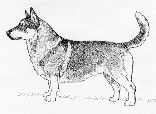 UKC Breed Standards: Swedish Vallhund