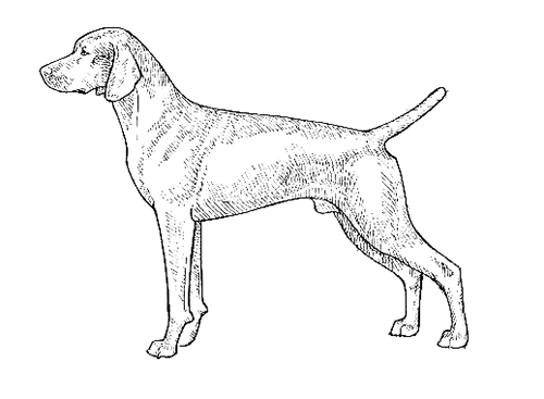 UKC Breed Standards: Vizsla