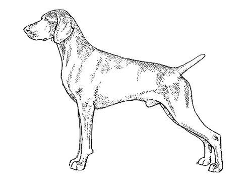 UKC Breed Standards: Weimaraner