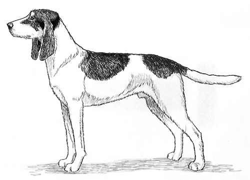 UKC Breed Standards: Welsh Hound