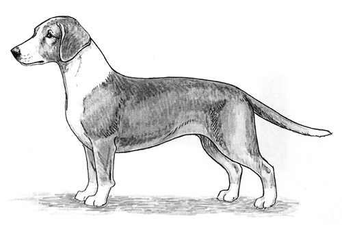 UKC Breed Standards: Westphalian Dachsbracke