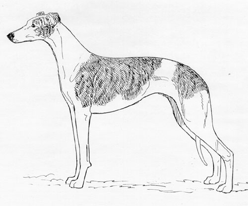 UKC Breed Standards: Whippet