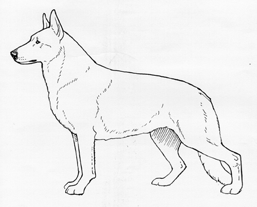 UKC Breed Standards: White Shepherd