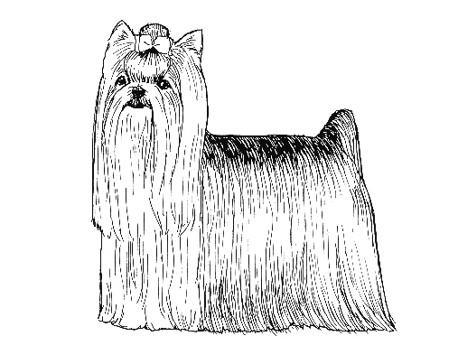 UKC Breed Standards: Yorkshire Terrier